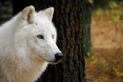 Atka in Autumn. Atka is an Arctic gray wolf and the Wolf Conservation Center's only traveling ambassador.
