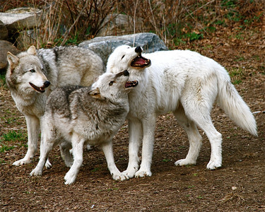 The original pack of ambassador wolves. From left: Lukas, Kaila, Apache. Apache was the alpha, Lukas the beta, and Kaila the omega - all playing essential roles in their small pack. It was always interesting to see how Lukas and Kaila were more confident around human visitors when Apache was present.