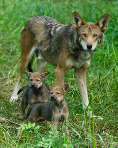 Red wolf parent and pups Wolf Conservation Center