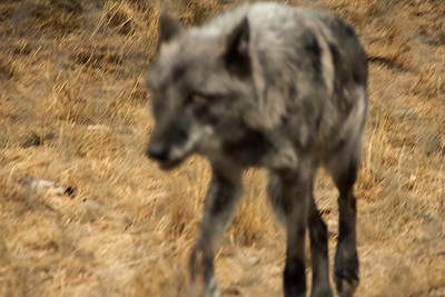 Wolf Haven 09-21-2012-16