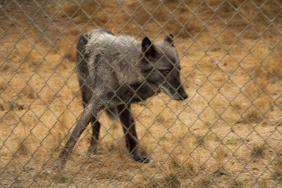 Wolf Haven 09-21-2012-19