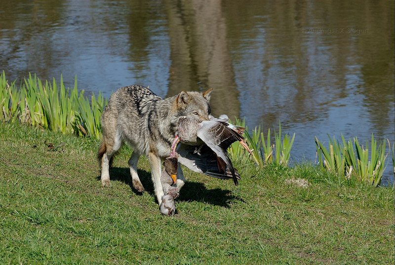 Wolf with goose kill at Wildpark Poing