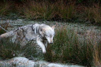 This is Duma, a socialised wolf who acts as an ambassador for the UK Wolf Conservation Trust. Membership of the trust gets you a group walk, which is when these shots were taken. I thought it important to show that she was on a chain rather than pretend she was wild. I'd urge everyone to join the trust - it's a great cause, and you get to play with a wolf!