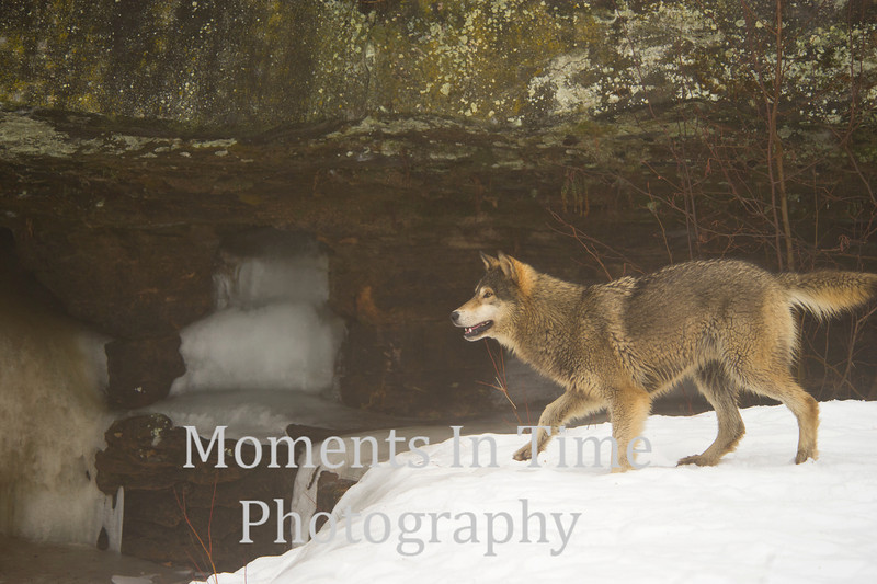 Wolf timber (canis lupus)