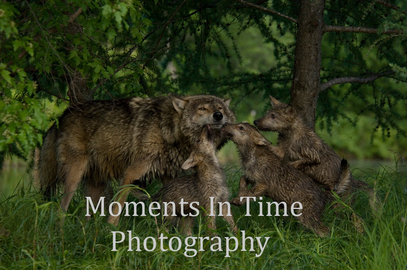 Wolf family 2