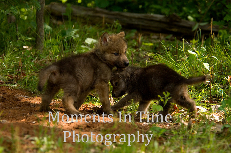 Playful wolf pups