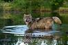 Wolf in pond