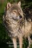 Gray wolf close V