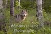 Wolf posing in woods