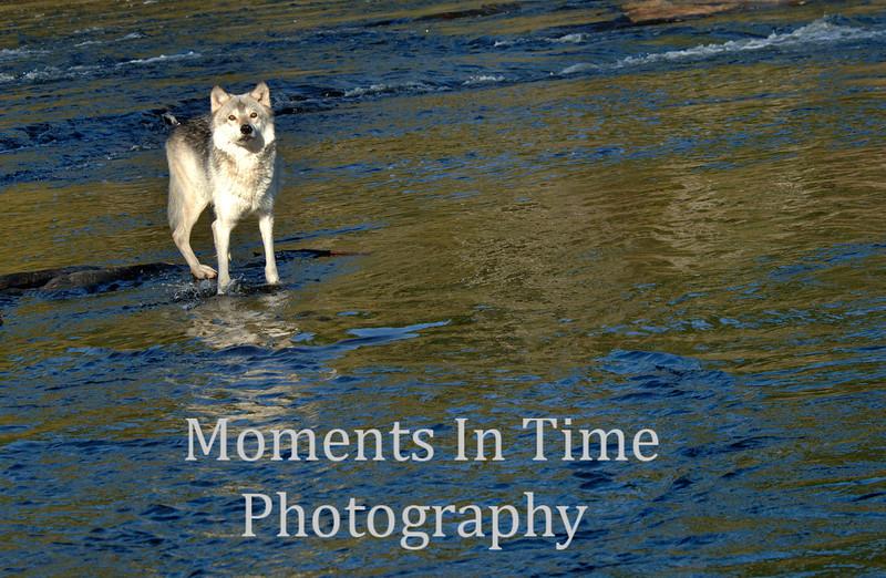 Alert wolf in river