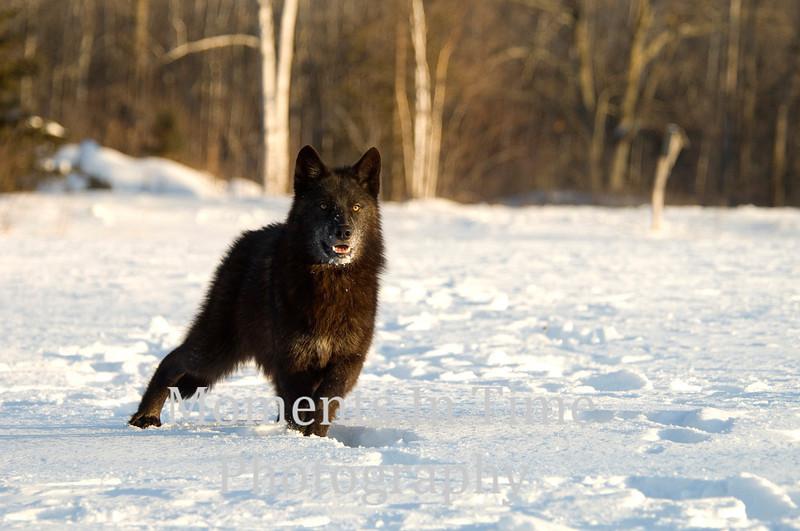 Alert black wolf