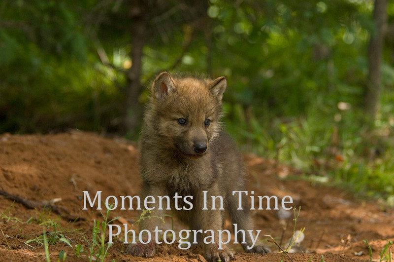 Wolf pup 3