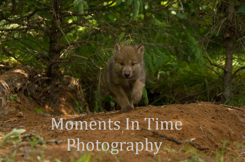 Wolf pup 2
