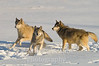 Three gray wolves in action