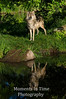 Timber wolf reflected V