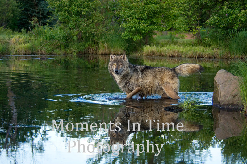 Timber wolf in water