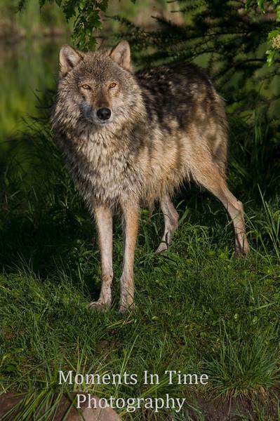 Gray wolf framed