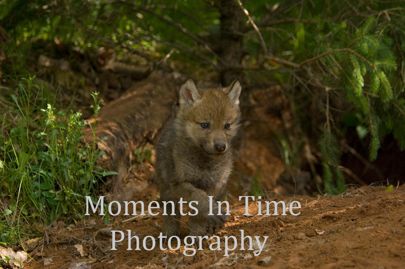Wolf pup 1