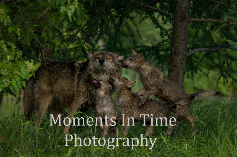 Wolf family 1