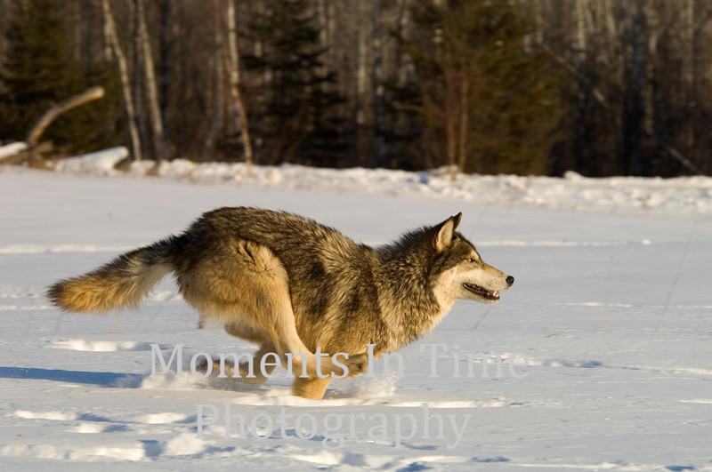 Wolf full run