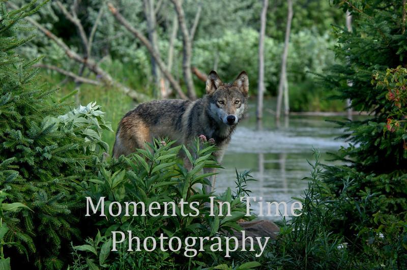 Wolf framed