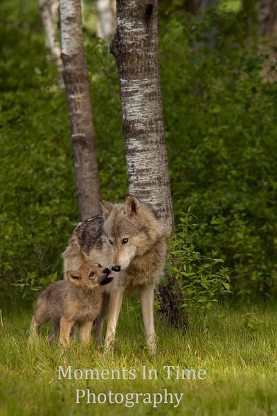 Tender wolf moment v