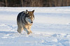 Gray wolf on the move