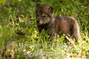 Brown wolf pup in grass