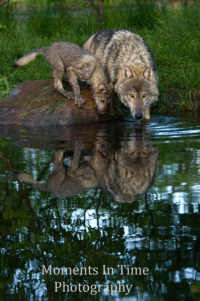 Wolf with pup drinking