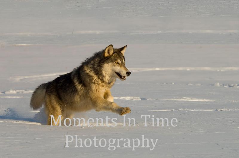 Timber wolf running ph