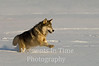 Timber wolf running ph
