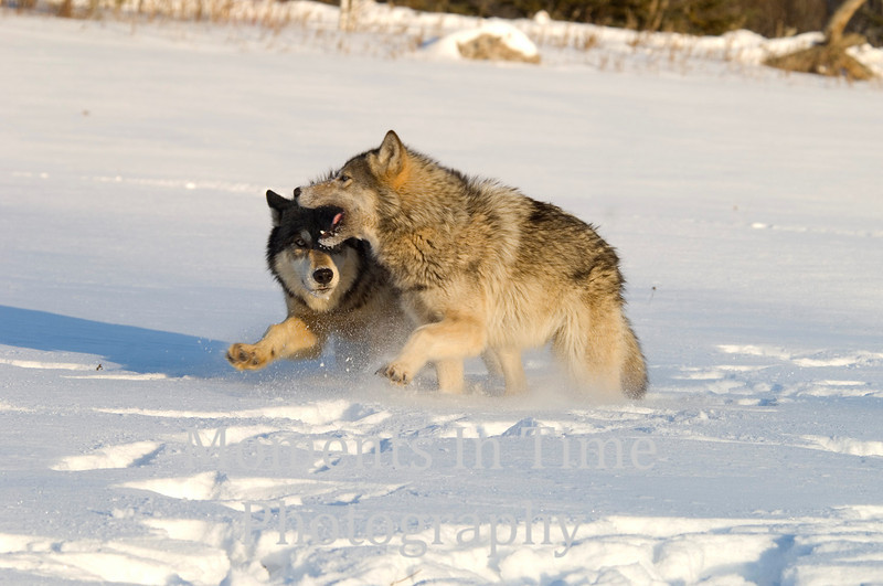 Wolf action 3