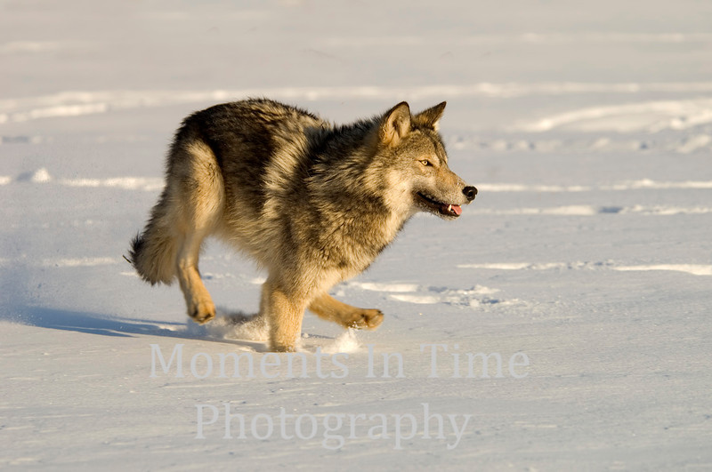 Gray wolf in action
