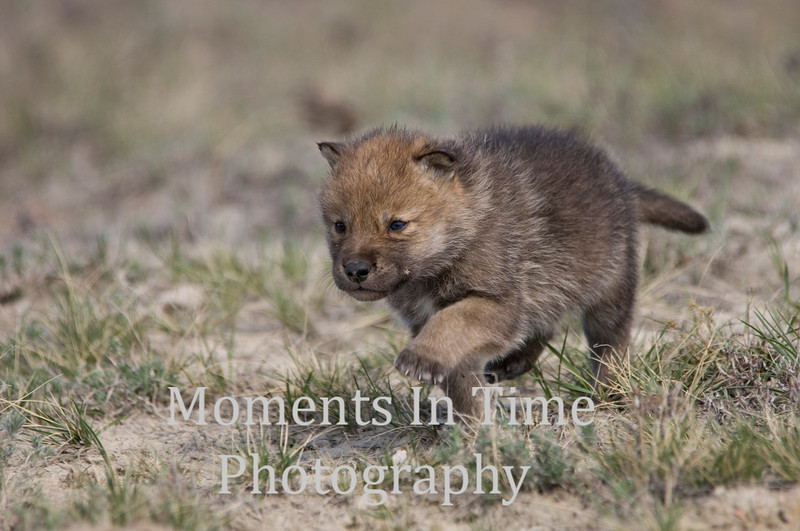Wolf pup on the move