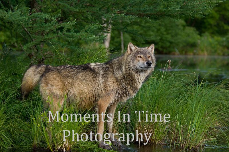 Gray wolf pausing