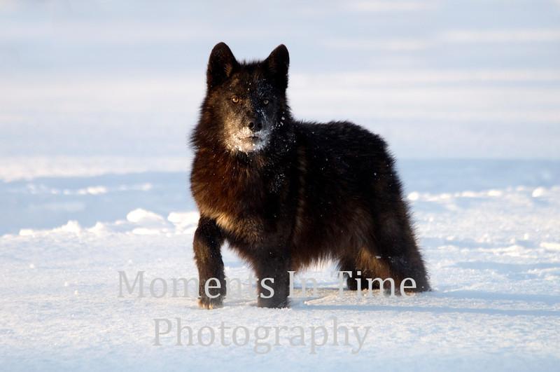 Black wolve pausing