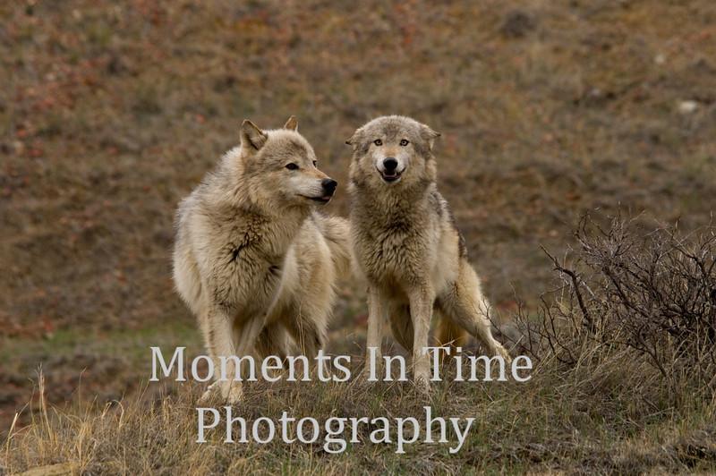 Wolf buddies