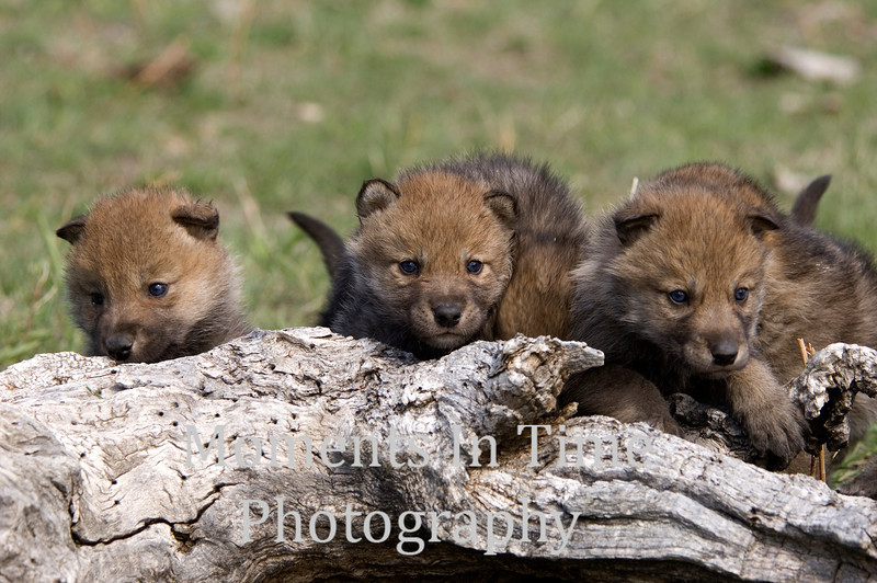 Wolf pup trio