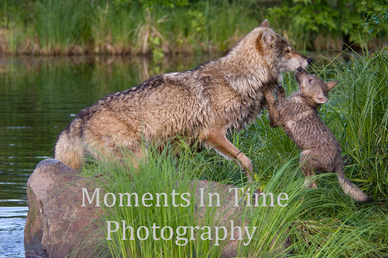 Wolf with playful pup 1