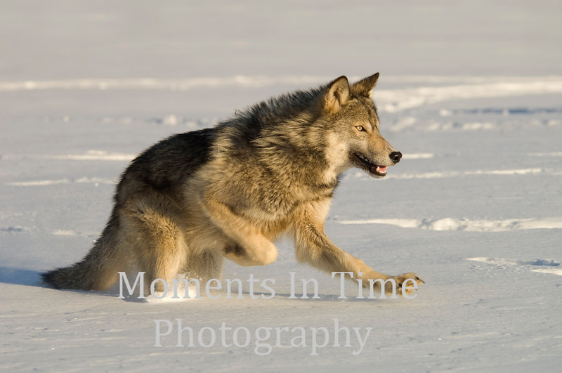 Wolf action
