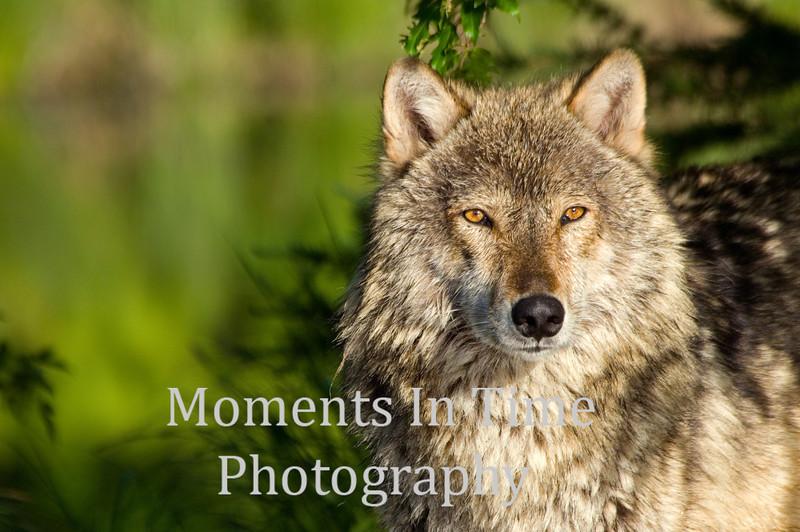 Timber wolf posing