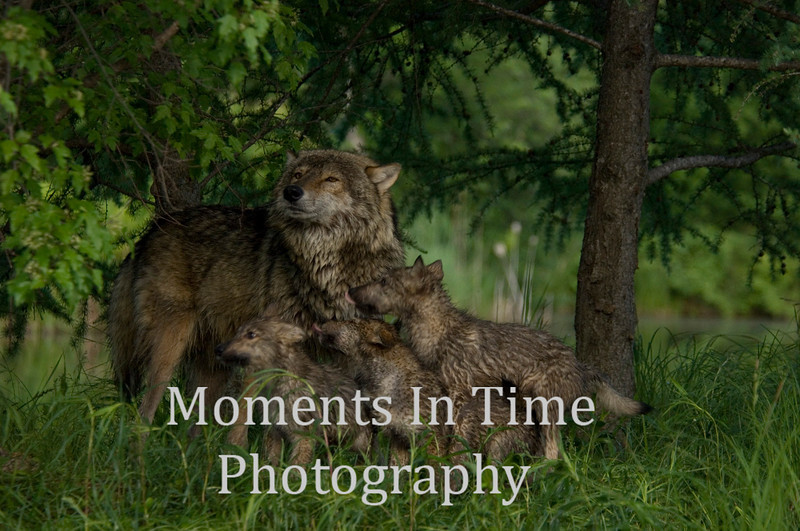 Wolf family 3