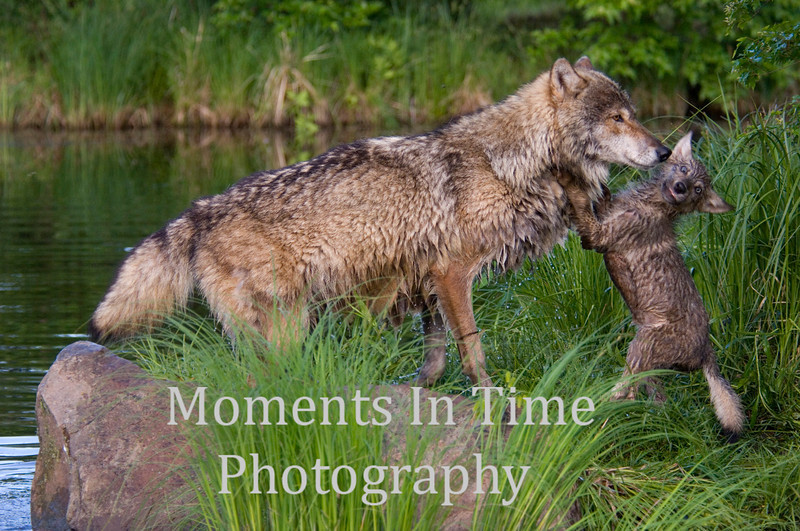 Wolf with playful pup 2