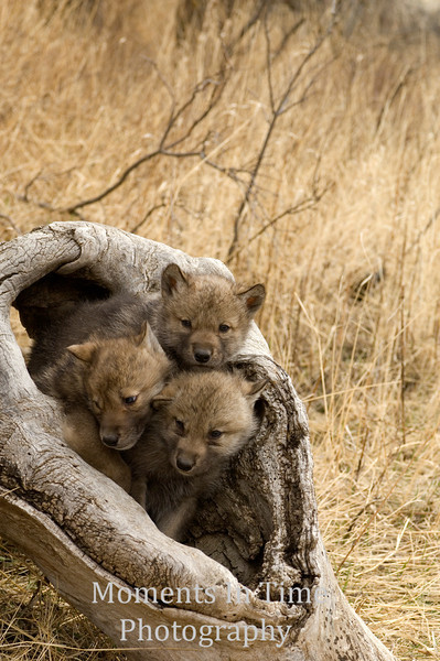 Pup trio in log