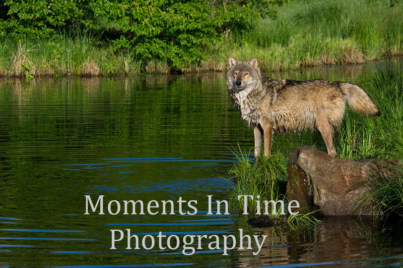 Timber wolf waters edge