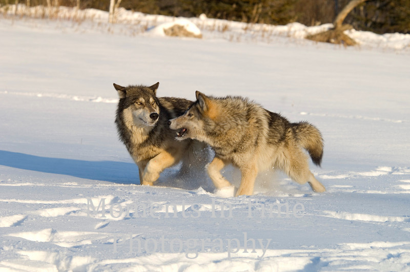 Wolf action 1