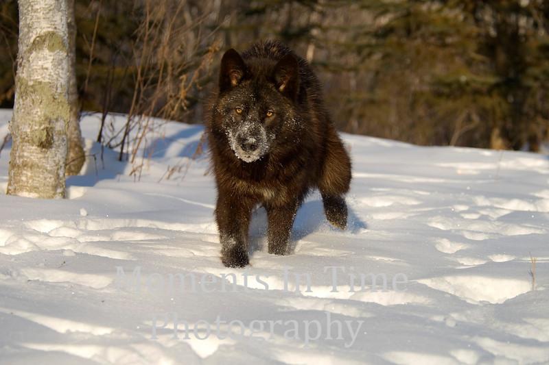 Black wolf approaching