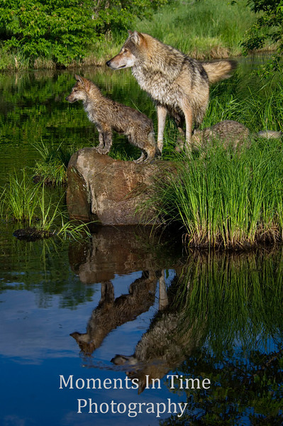 Wolf with pup waters edge V
