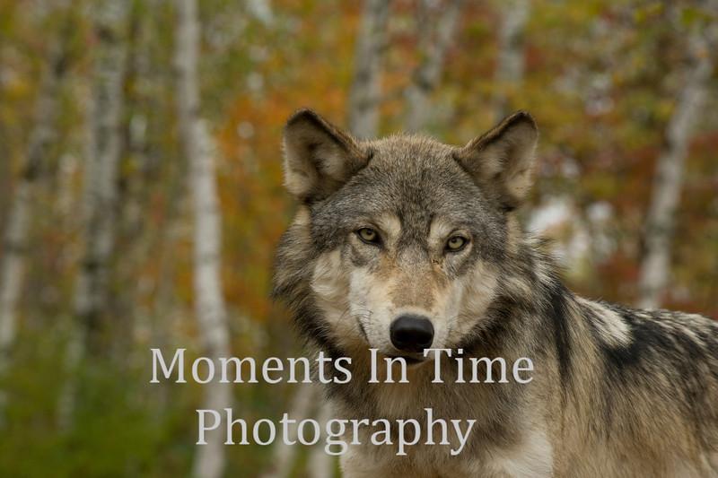 Wolf portrait in autumn