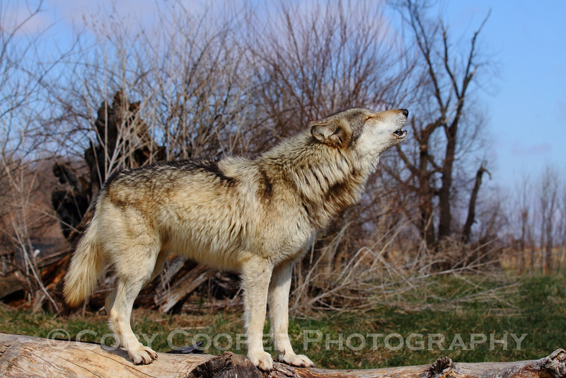 This is Wotan, one of the wolves at Wolf Park in Battle Ground Indiana participating in a group howl The park has a wonderful program to grant access to photographers that I participated in last Saturday. It was truly an amazing day with incredible animals